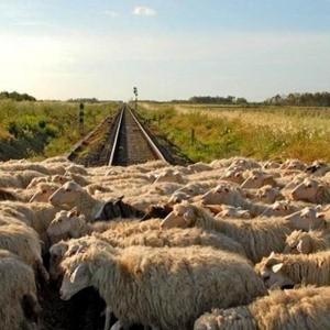 Pecore sui binari. Foto © palermo.repubblica.it